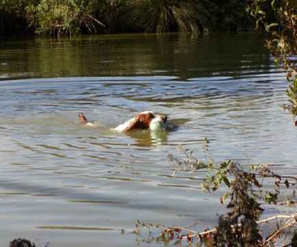 Julita Rustic Ramble retrieving during her Gundog Working Certificate qualifier   Photos by Mrs J Revill