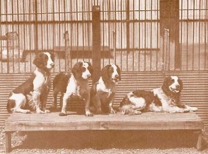 A group of Longmynd Welsh Springers