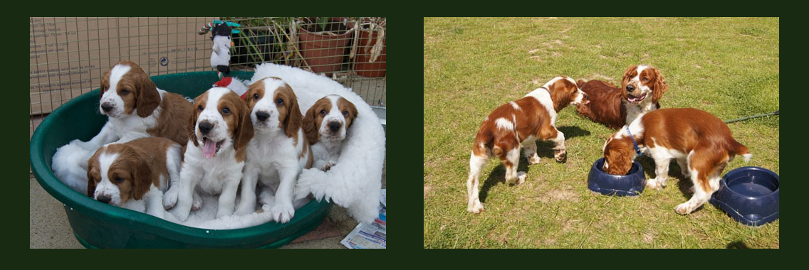 http://www.welshspringerspaniel.club/wp-content/uploads/2013/10/Home-Banner-10-1136x380.png