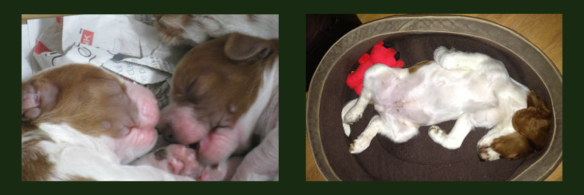 http://www.welshspringerspaniel.club/wp-content/uploads/2013/10/Home-Banner-7-1136x380.png