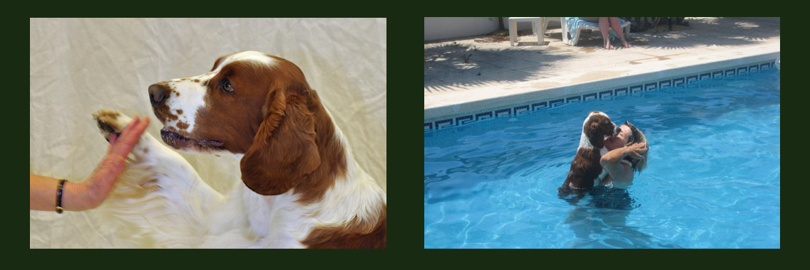http://www.welshspringerspaniel.club/wp-content/uploads/2013/10/Home-Banner-8-1136x380.png