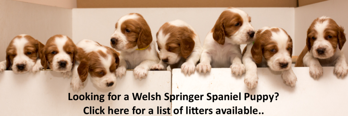 http://www.welshspringerspaniel.club/wp-content/uploads/2017/07/WSS-Puppy-Banner-1136x380.png